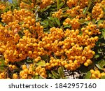 Yellow And Orange Berries Of...