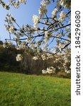 cherry blossom  provaglio d... | Shutterstock . vector #184296080