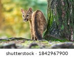 Young American Cougar Creeps...