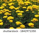 Bright Yellow Yarrow  Achillea...
