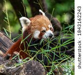 The Red Panda  Ailurus Fulgens  ...