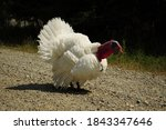 A Large White Beautiful Turkey...