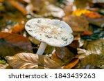 White Mushroom Russula In The...