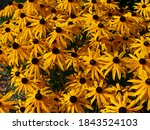 A Cluster Of Yellow Coreopsis