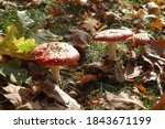 Red Mushrooms Toadstool In The...