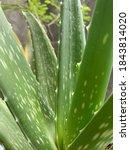Small photo of the embodiment of the aloe vera plant