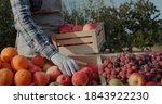 The Farmer Puts Ripe Apples On...