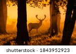 Deer In A Danish Forest