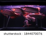 Arowana Fishes Collection In...
