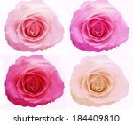rose flowers buds floral... | Shutterstock . vector #184409810