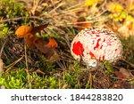 Amanita Muscaria Mushroom....