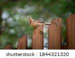 Female Northern Cardinal...