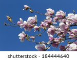 blooming magnolia flowers in... | Shutterstock . vector #184444640