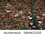 Clouded Agaric Fungi  ...