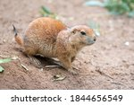 Black Tailed Prairie Dog  In...