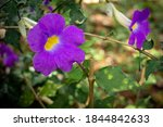 View Of Thunbergia Erecta Which ...