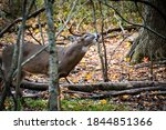 Whitetail Buck Grunting In The...