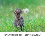 Stock photo little kitten sniffing dandelion 184486280