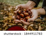 Chestnuts. Chestnut Harvest....