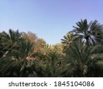 Lush Date Palm Trees Grow In A...