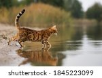 Domestic Bengal Cat Hunting On...