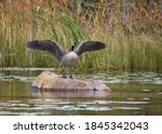 A Canada Goose Stretches Its...