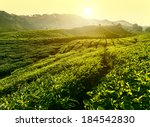 Постер, плакат: Sunset at tea plantation