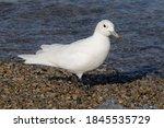 Ivory Gull  Pagophila Eburnea   ...