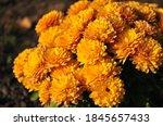 Beautiful Bush Of Orange...