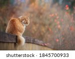 Red Fluffy Cat Laying On The...