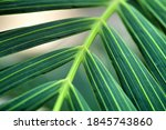 Beautiful Palm Tree Leaf...