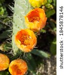 Flowers Of Prickly Pear Plant ...
