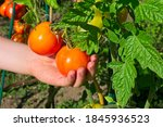A Child's Hand Picking A Tomato ...