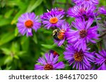 Bumble Bee Alights On Purple...