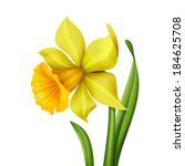 yellow spring daffodil flower... | Shutterstock . vector #184625708