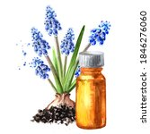 Spring Muscari Flower And...