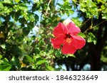 Close Up Hibiscus Pollen  A...