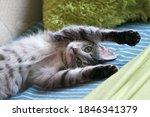 Lovely Cute Grey Cat Relaxing...