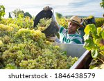 Hispanic Farm Worker Busy In...