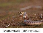 Common Trinket Snake In Attack...