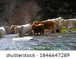 Cows In Transhumance Crossing A ...
