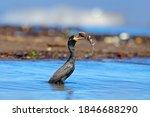 Bird Catch Fish. Cormorant With ...