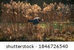 Common Raven Flies Over The...