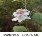 Passiflora Foetida Flower...