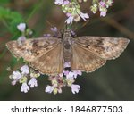 Horaces's Duskywing Butterfly ...