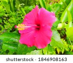 Nice Red Hibiscus Flower With...