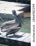 Brown Pelicans On A Pier In...