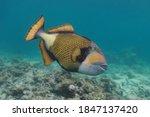 Titan Triggerfish  Balistoides...