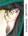 Small photo of The Common Bream (Abramis brama) on a fishing net.