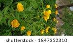 Golden Buttercups On A...